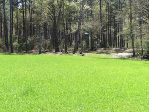 Grass and pine trees