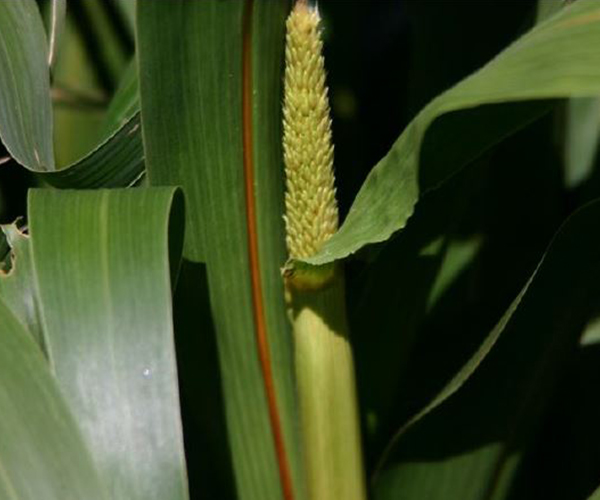 Hybrid Pearl Millet - Single Plant