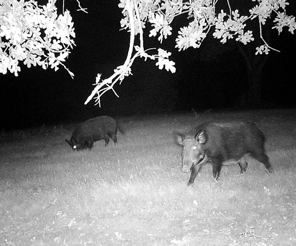 Hogs in a field