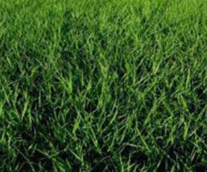 Tif Quick Bahia grass